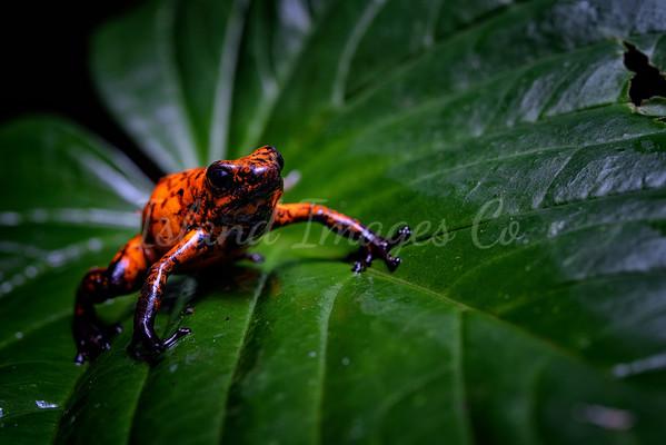 Red Devil dart frog