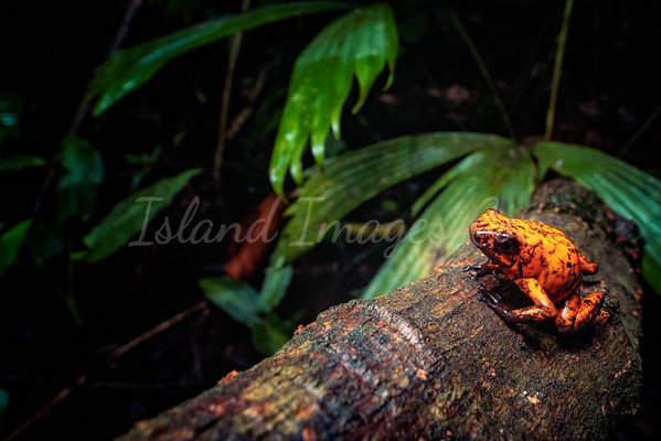 Red Devil Poison Frog 3