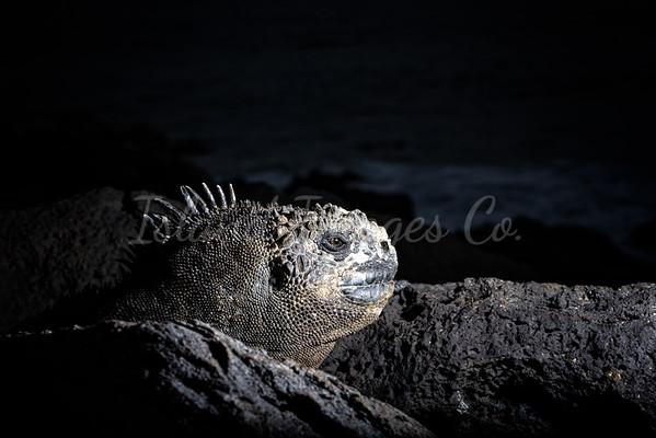 Moonlit Iguana