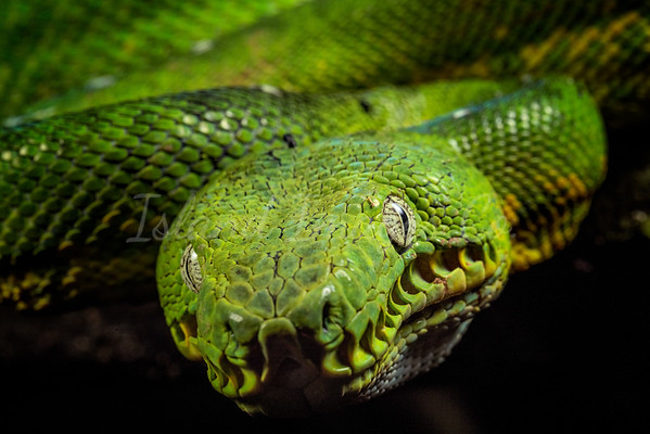 Green Boa Macro