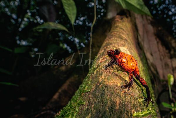 Red Devil Poison Frog