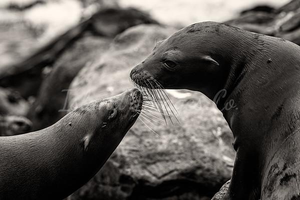 Kissing sea lions