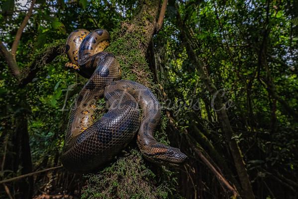 Anaconda on a tree
