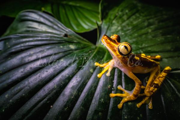 Neoselva Frog 2