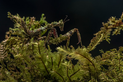 Pseudacanthops huaoranianus, a very well camouflaged praying mantis from the Amazon.