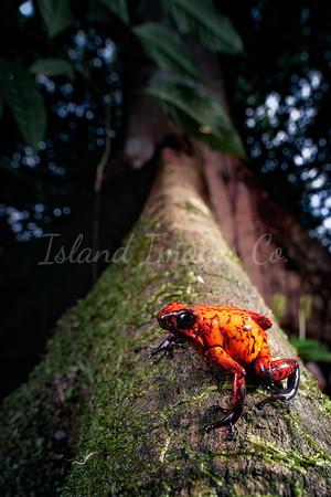 Red Devil Poison Frog 4