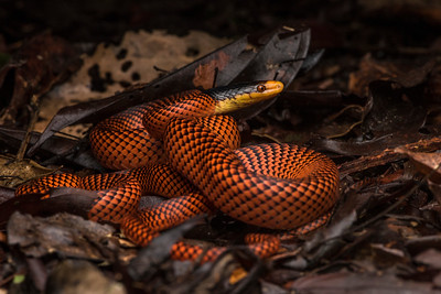 Oxyrhopus formosus, one of the most vibrant snakes of the amazon rainforest.  Some species in the genus clearly mimic venomous coral snakes, it is unclear whether that is the case for this species as it does not closely resemble the banded coral snakes.