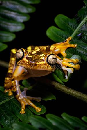 Neoselva frog tree 3