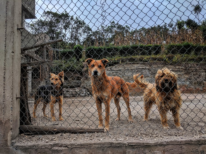 Pack of dogs somewhere in Ecuador.