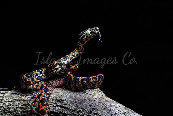 Juvi Amazon Boa morph
