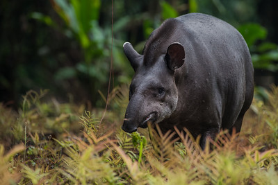 The South American tapir (Tapirus terrestris), the largest terrestrial mammal of the Amazon basin.  This makes it a frequent target of poaching for its meat.
