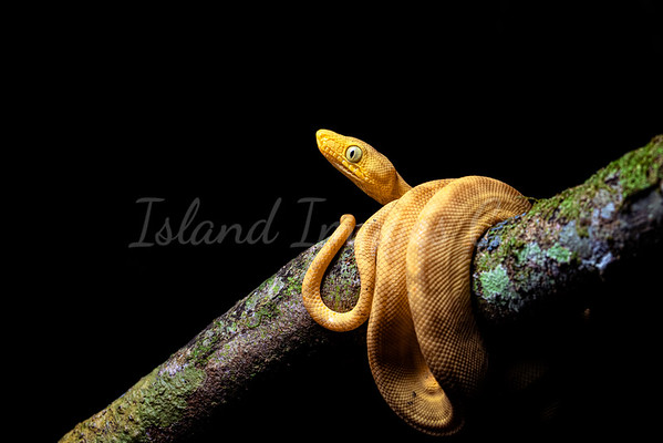 Yellow Morph Boa curled up 2