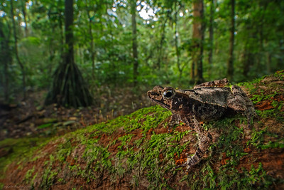 South American Common Toad / ( Rhinella margaritifera )