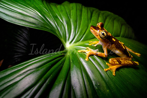 Neoselva Tree Frog 4