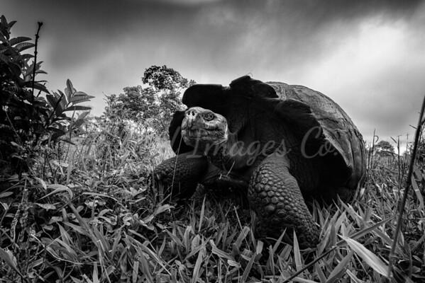 Santa Cruz Giant tortoise bnw