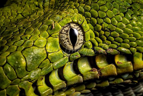 Green Tree Boa Eye