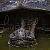 Giant Tortoise Portrait shot