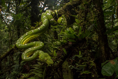 The  Amazon Basin emerald tree boa (Corallus batesii) lives in rainforest canopy in the Amazon rainforest.  It is rarely encountered as it seldom ventures to ground level.