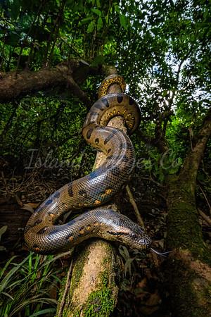 Green Anaconda tree
