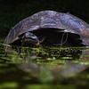 Giants Galapagos Tortoise