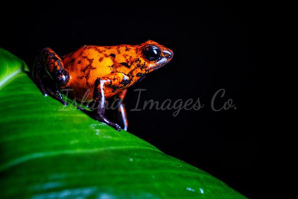 Red Devil Poison Frog 2