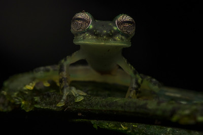 Maria's Glass frog (Nymphargus mariae), a centrolenid found in the foothills of the Amazonian jungle to the East of the Andes.
