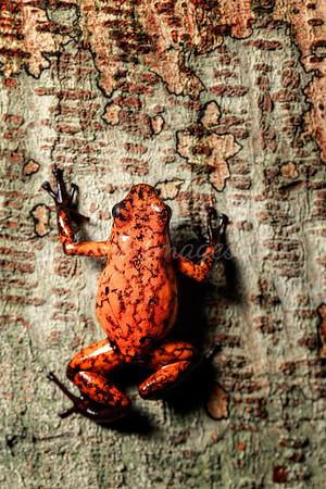 Red Devil Frog macro vert