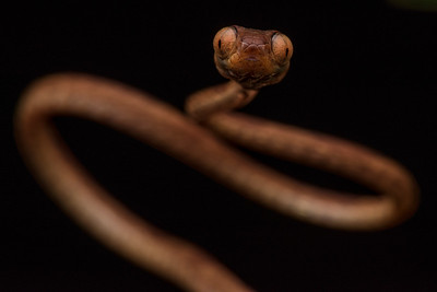 A blunt headed tree snake (Imantodes inornatus) and extremely thin snake well adapted for its nocturnal lifestyle crawling over shrubs, palms and other vegetation looking for sleeping lizards.