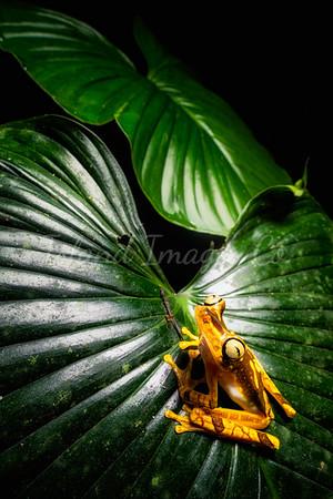 Neoselva Tree Frog