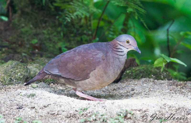 White-throated Quail-Dove<br /> San Jorge de Milpe