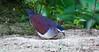 Sapphire Quail-Dove   <br /> San Jorge de Milpe