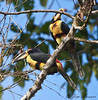 Collared Aracari<br /> San Jorge de Milpe Eco-lodge