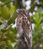 Common Potoo<br /> Bellavista Cloud Forest Lodge