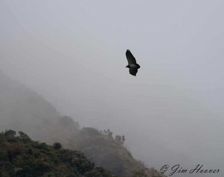 Black-chested Buzzard-Eagle<br /> Papallacta