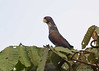 Bronzed-winged Parrot<br /> San Jorge de Milpe