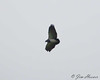 Black-chested Buzzard-Eagle<br /> Papallacta