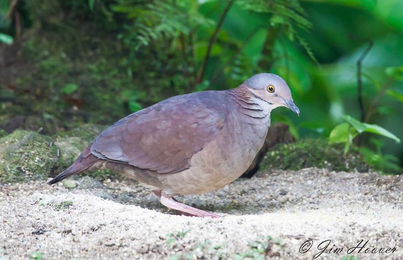 White-throated Quail-Dove<br /> San Jorge de Milpe