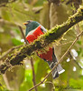 Collared Trogon - male