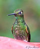 Buff-tailed Coronet<br /> Bellavista Cloud Forest Lodge