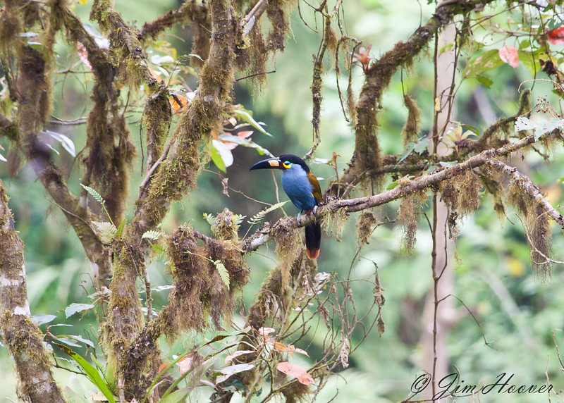 Pale-mandibled Mountain-Toucan<br /> Bellavista Cloud Forest