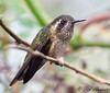 Speckled Hummingbird<br /> Bellavista Cloud Forest Lodge