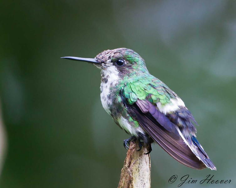 Green Thorntail<br /> San Jorge de Milpe
