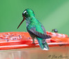 Purple-bibbed Whitetip<br /> San Jorge Milpe