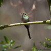 Black-tailed Trainbearer - female<br /> San Jorge Eco-lodge Quito