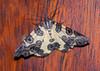 Leopard Moth<br /> Pantherodes sp. possibly conglomerata)<br /> San Jorge de Milpe