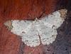 Epimecis sp.<br /> San Jorge de Milpe
