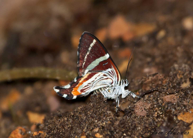 Genus Erateina<br /> Day flying moths<br /> Geometridae