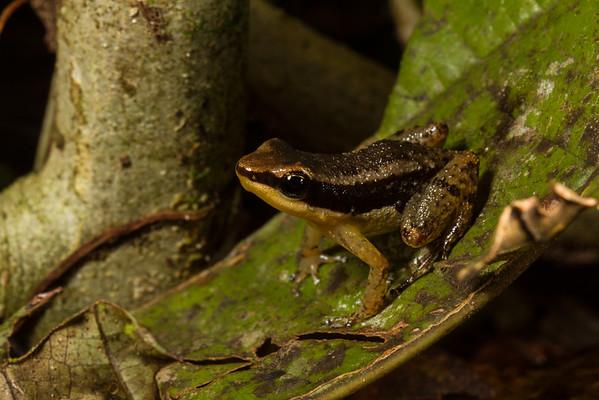 Allobates insperatus (Allobates). EO Wilson trail, Shiripuno, Orellana Ecuador