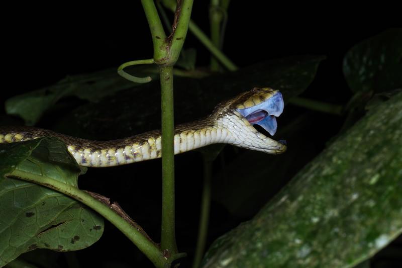 fer-de-lance, Bothrops atrox (Viperidae). Shiripuno, Orellana Ecuador