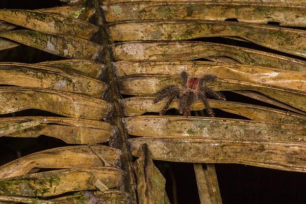 pink-toed tarantula, Avicularia avicularia (Theraphosidae). EO Wilson trail, Shiripuno, Orellana Ecuador